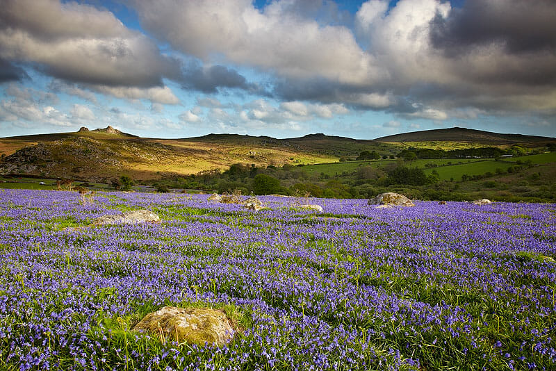 Dartmoor Bluebells